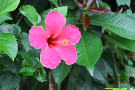 Hibiscus flower beautiful on tree Close up