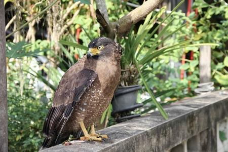 Falcon Peregrine or golden eagle, Closeup Stock Photo