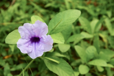Popping pod flower Purple bloom in the morning, Selective focus with shallow depth of field. (Scientific name, Watrakanu, Minnie root, Feverroot, Cracker plant, Trai-no, Toi ting)
