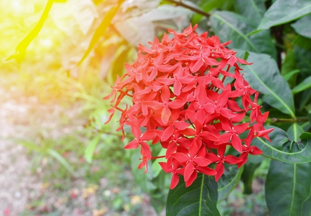 spike flower , Ixora coccinea red, Rubiaceae  in nature, with sunset light tone.