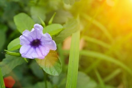 rubella: purple ruellias flower bloom in the morning. (Ruellia tuberosa Linn. Waterkanon, Watrakanu, Feverroot, Popping pod) : blurred background : select focus front Ruellia.