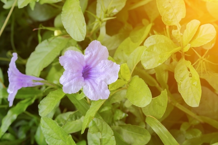 Popping pod  flower Purple bloom (Scientific name, Watrakanu, Minnie root,  Feverroot, Cracker plant, Trai-no, Toi ting) with sunset light tone. Stock Photo