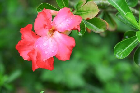 desert rose or  adenium red flower and drip water, on tree  beautiful  in the garden (Impala Lily ) Stock Photo