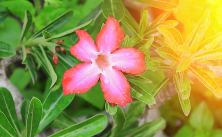 desert rose or adenium red flower and drip water, on tree  beautiful  in the garden  with sunset light tone. (Impala Lily ) Stock Photo