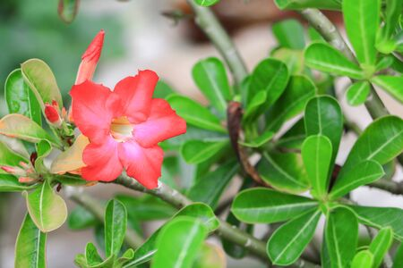 adenium obesum: desert rose or  adenium red flower and drip water, on tree  beautiful  in the garden (Impala Lily ) Stock Photo