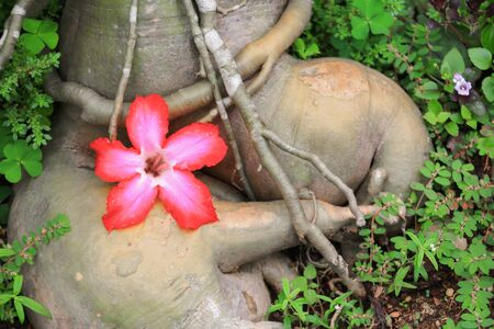 obesum: desert rose or  adenium red flower and drip water, on tree  beautiful  in the garden (Impala Lily ) Stock Photo