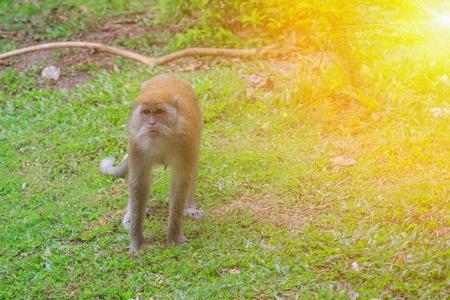 Monkey Walking on the grass  with sunset light tone. Stock Photo