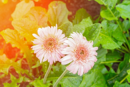 flower Gerbera pink  and water drop Barberton daisy, Daisy fromSouth Africa. with sunset light tone.