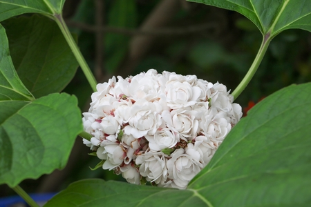 white  flower ball beautiful of fragrant in bloom on tree with copy space for add text
