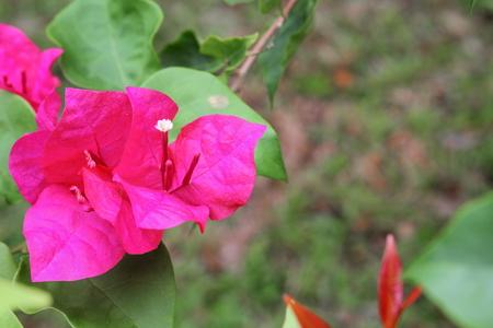 Bougainvillea flower purple selective focus, glabra Choisy beautiful natural in garden