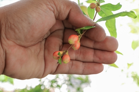 l hand: hand farmland examine Pomegranate flowers on tree ( Punica granatum  L. ) Stock Photo