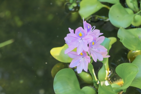 Water hyacinth floating beautiful in nature   Java Weed (Eichhornia crassipes (Mart.) Solms) Stock Photo