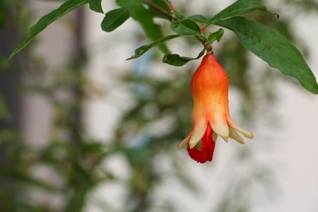 Pomegranate flowers on tree ( Punica granatum  L. )