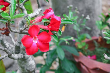 adenium: desert rose red tropical flower on tree or Impala Lily beautiful red adenium in the garden Stock Photo