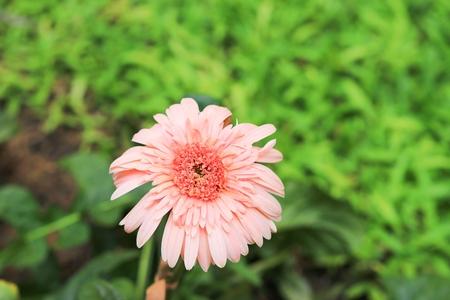 gerbera flower in garden, Barberton daisy Stock Photo