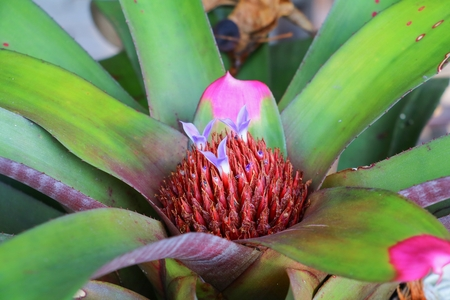 Bromeliad or Urn Plant flower red beautiful in the garden Stock Photo
