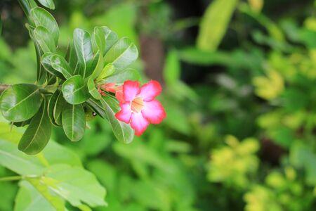 Pink adenium in garden