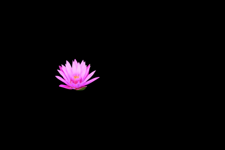 lotus, water lily flower purple beautiful isolated on black background