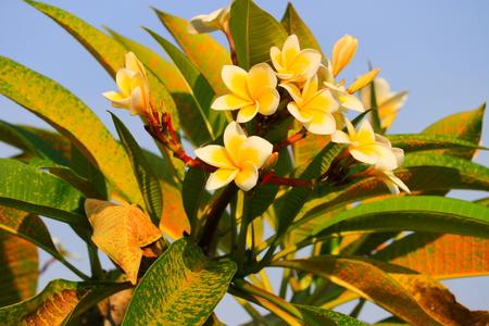 Plumeria flower white and pollen yellow beautiful on tree ( Common name pocynaceae, Frangipani , Pagoda tree, Temple tree ) Stock Photo