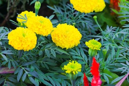 marigold yellow flower blooming beautiful in garden   (Tagetes erecta, Mexican marigold, Aztec marigold, African marigold) Stok Fotoğraf