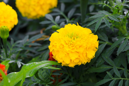 marigold yellow-orange flower blooming beautiful in garden  : Select focus with shallow depth of field. (Tagetes erecta, Mexican marigold, Aztec marigold, African marigold)