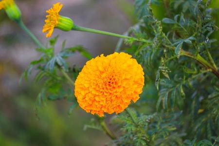 marigold yellow flower blooming beautiful in garden (Tagetes erecta, Mexican marigold, Aztec marigold, African marigold)