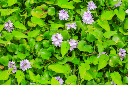 water hyacinth flower in natural beautiful background Stock Photo