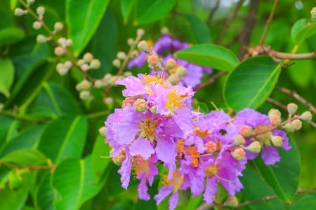 Queen's flower, Lagerstroemia macrocarpa Wall. purple  beautiful on tree Archivio Fotografico