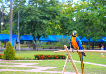 macaw parrot, blue - orange colorful beautiful in public park select focus with shallow depth of field.