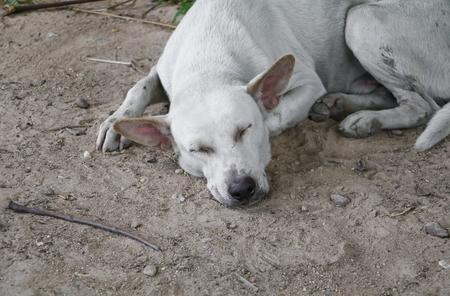 white stray dog  sleep relaxing on the sand Stock fotó