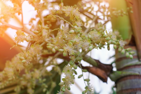 Flower Raja Lipstick Palm (Sealing wax , Lipstick , Raja , Maharajah ) ornamental plant in garden with light sunrise tone. select focus shallow depth of field.