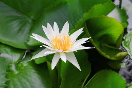 Plumeria flower white and water drop beautiful on tree ( Common name pocynaceae, Frangipani , Pagoda tree, Temple tree ) Reklamní fotografie