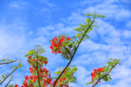 blurred peacock flower red for background Stock Photo