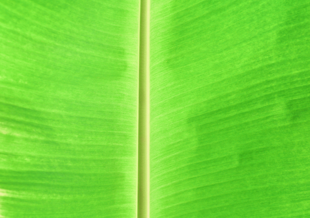 banana leaf texture for background in nature select focus with shallow depth of field Imagens