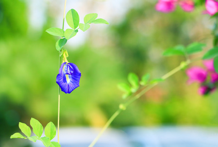 Butterfly pea flower or Blue pea and leaf in nature with copy space ( Clitoria ternatea L )