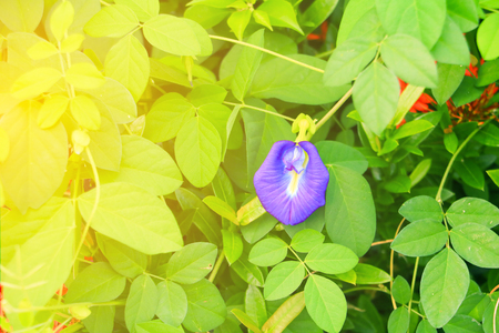 Butterfly pea flower or Blue pea and leaf in nature with copy space ( Clitoria ternatea L ) with sun light soft Stock Photo