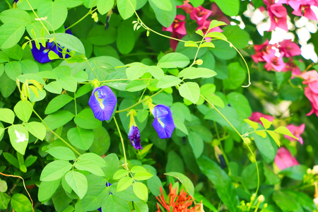 Butterfly pea flower or Blue pea and leaf in nature with copy space ( Clitoria ternatea L ) 写真素材 - 110387381