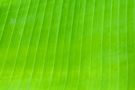 Banana leaf texture fresh green background in nature with copy space add text