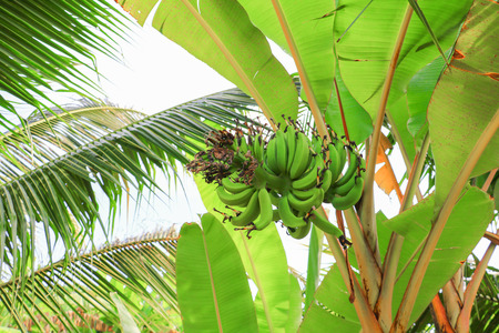 banana raw with a bunch on the tree with copy space add text 免版税图像