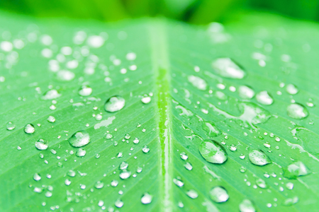 banana leaf pattern with texture water drop in the morning beautiful for background  with copy space add text. select focus shallow depth of field