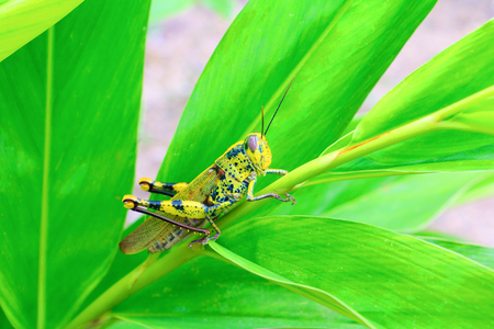 grasshopper On the leaf select focus with shallow depth of field