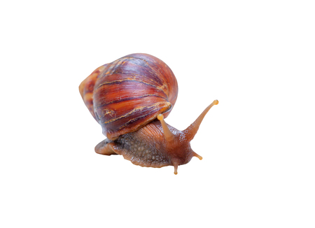closeup snail isolated on white background and clipping path with copy space add text