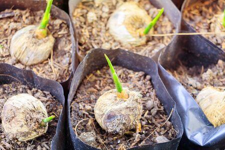 Nahaufnahmepalme kleine Sämlingpflanze in schwarzer Tasche, die aus Samen wächst Standard-Bild