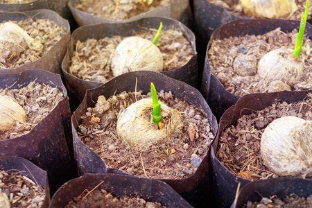 Nahaufnahmepalme kleine Sämlingpflanze in schwarzer Tasche, die aus Samen wächst