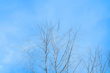 dry tree with blue sky background with copy space add text