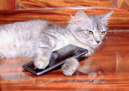 cat striped white - grey used with mobile phone On wooden floor. concept business Communication high technology