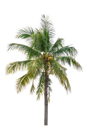 árbol de coco aislado hermoso sobre fondo blanco