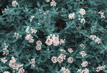 green leaves background and above lantana camara white flowers