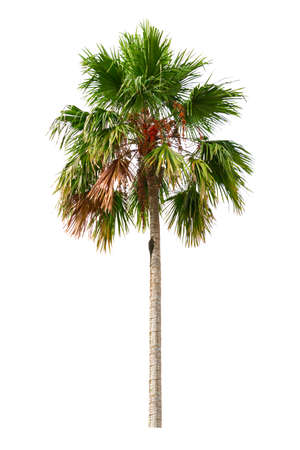 Palm tree and fruit Ornamental plants beautiful isolated on white background Archivio Fotografico