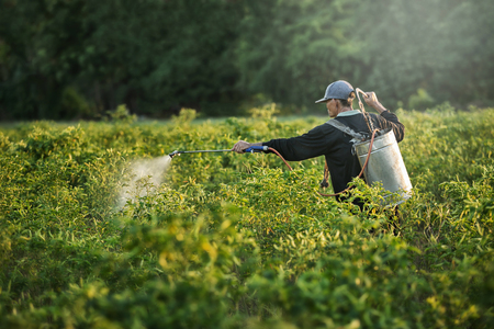 accelerate: Farmers spraying accelerate flowering plants in the garden pepper sunset time. Stock Photo